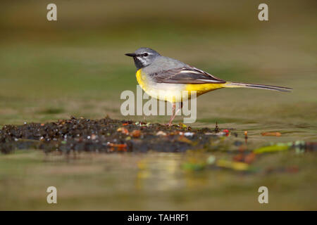 A beautiful adult male Grey Wagtail (Motacilla cinerea) in summer near his nest on the River Barle in Dulverton, Exmoor, Somerset, England - Stock Photo