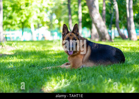 Portrait of German Shepherd Dog Lying on Green Grass. Cute Purebred Brown Fur Domestic Animal Outside in Park on Lawn. Beauty Companion and Guard - Stock Photo