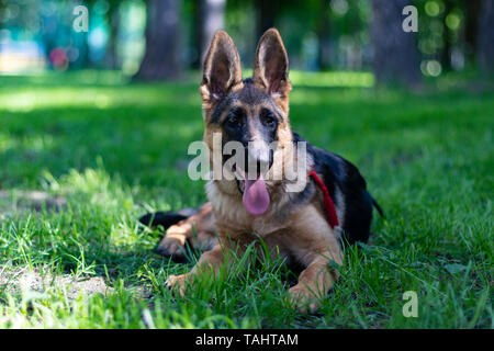 Cute Puppy Dog of German Shepherd. Animal Portrait. Yound Purebred Shepherd Lying on Green Grass at Park Lawn and Show Tongue. Lovely Small Furry - Stock Photo