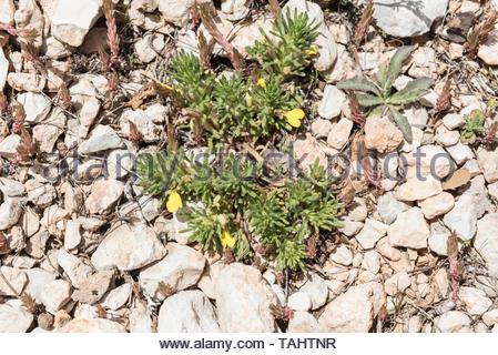 Ground pine (Ajuga chamaepitys) - Stock Photo