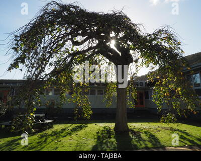 A weeping wych elm (Scots elm) in late autumn, in a courtyard of a 1940s school building, with a low sun shooting through - Stock Photo