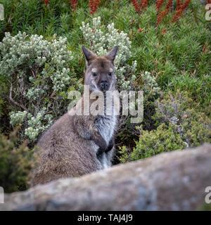 Bennett's Wallaby (Macropus rufogriseus), Ben Lomond Park - Stock Photo