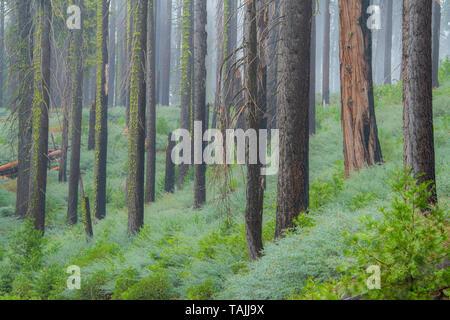 Conifers and morning fog, Mariposa grove, Yosemite NP, California, USA, by Bill Lea/Dembinsky Photo Assoc - Stock Photo