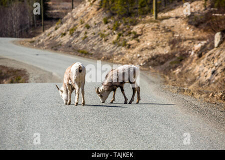 Two young Stone Sheep or Dall Sheep lick mineral deposits from the Cassiar Highway near the Alaska Highway Junction in the Yukon, Canada. - Stock Photo