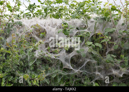 Tent Caterpillars, make tent of silk on host hedgerow - Stock Photo