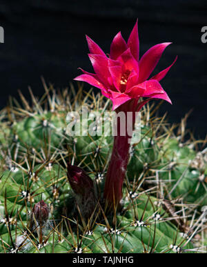 a tall red and magenta cactus flower stands tall above the round and very spiny plant - Stock Photo