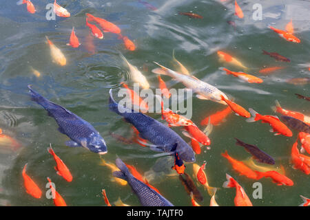 A beautiful bright multicolored group of Variegated carp Cyprinus carpio at the floats on the surface of the pond. - Stock Photo