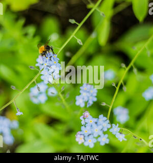 White Tailed Bumblebee Feeding On A Forget Me Not Flower - Stock Photo