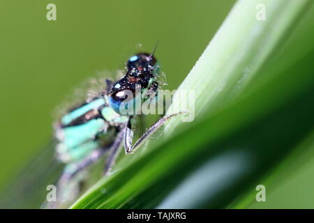 Close up of the head of a blue tailed male damsel fly (Ischnura elegans) on a plant leaf - Stock Photo