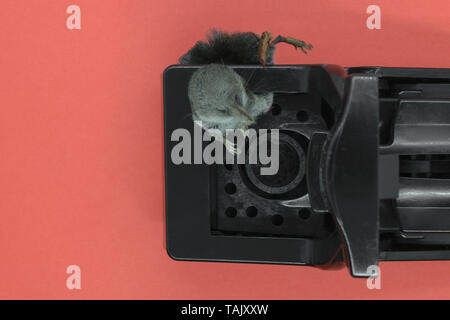 Common shrew mouse in the black plastic mouse trap on pink background with copy space - Stock Photo