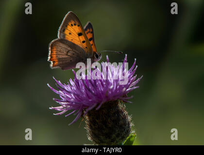 Small Copper feeding, Dumfries, Dumfries and Galloway, S W Scotland - Stock Photo
