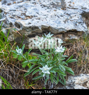 Edelweiss flowers growing in the alp mountains - Stock Photo