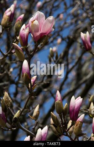 Buds on a Magnolia Tree - Stock Photo