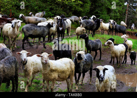 A flock of sheep grazing after a heavy rain on a hill of mountain green meadows among muddy puddles and tall pines on a bright spring morning - Stock Photo