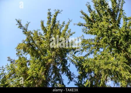 Branches of young spruce tree in spring against clear blue sky, shallow depth of field photo only few parts in focus, abstract springtime forest - Stock Photo