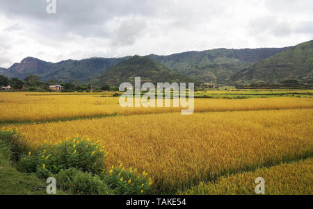 Typical Madagascar landscape at Mandraka region on overcast day, golden coloured rice fields small green forest hills in distance - Stock Photo