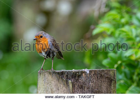 Robin (Erithacus rubecula) perched on fence post - Stock Photo