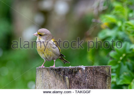 Juvenile Greenfinch (Carduelis chloris) on fence post - Stock Photo