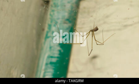 close up of a long leg brown spider hanging on by web with blurred background. - Stock Photo