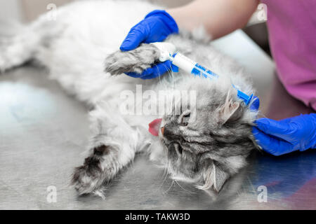 Big gray cat under anesthesia lay on metal table in vet clinic before procedure. - Stock Photo