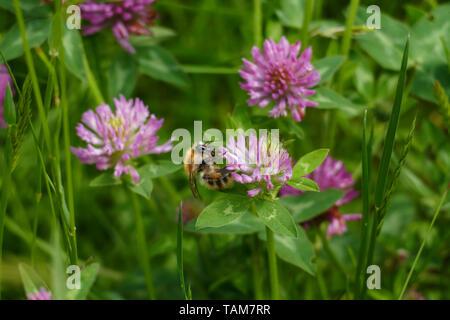 Hummel fliegt auf eine lila, violett farbener Wiesen Klee Blüte, auf einer Wiese - Stock Photo