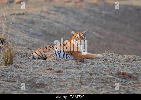 Female Bengal Tiger (Panthera tigris tigris) known as Mya (T-12), in Tadoba-Andhari Tiger Reserve and National Park, Maharashtra, India - Stock Photo