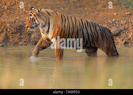 Adult male Bengal Tiger (Panthera tigris tigris) in Tadoba-Andhari Tiger Reserve, Maharashtra, India. This dominant male is T-54 or Chota Matka - Stock Photo