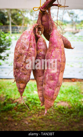 sweet potato purple yams hanging for sale on vegetable marke - Stock Photo