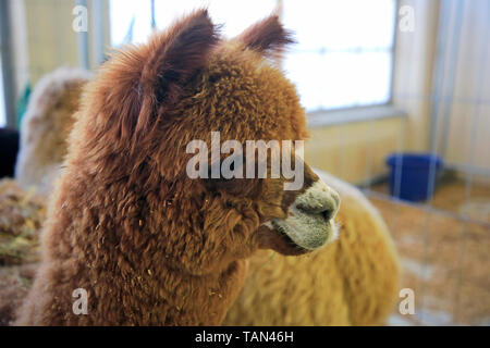 Close up head shot of a brown Alpaca, Vicugna pacos, indoors in a barn. Shallow depth of field.
