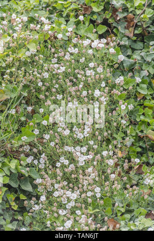 Patch of white flowering Sea Campion / Silene maritima on a seaside cliff, Cornwall. - Stock Photo