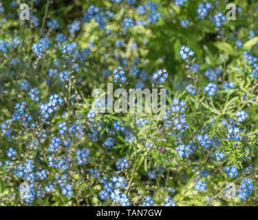 Clump of what is believed to be Field Forget-me-not / Myosotis arvensis - leaves more fine and smaller than Tufted / M. laxa. Summer flowers concept. - Stock Photo