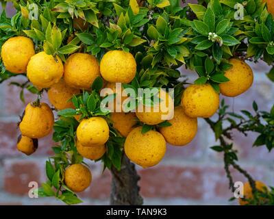 Ornamental Orange Tree, Also called sour oranges Citrus aurantium - Stock Photo