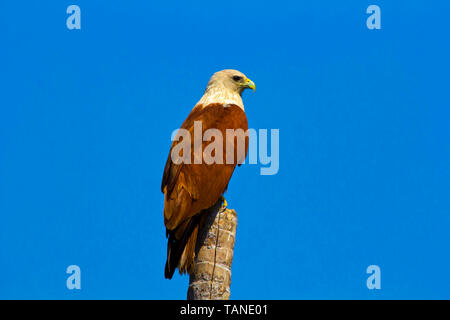 Brahminy kite, Haliastur indus, Zuvari river, Goa, India. - Stock Photo