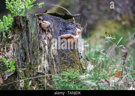 Pilze auf einem Baumstumpf im Waldgebiet der Hohen Acht, dem mit 746,9 Metern Hoehe hoechsten Berg der Eifel. - Stock Photo