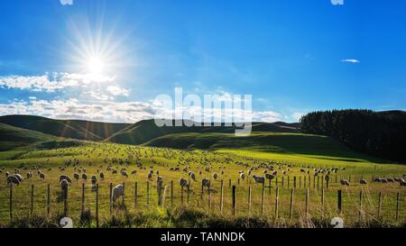 Flock of sheep grazing on a hill in rural country sheep farm in New Zealand. - Stock Photo