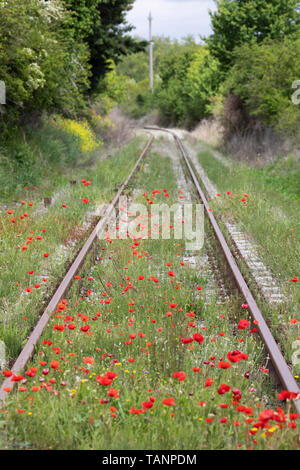 Poppies growing along rail track, San Giovanni d'Asso, Siena Province, Tuscany, Italy, Europe