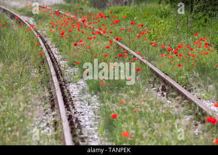 Poppies growing along railtrack, San Giovanni d'Asso, Siena Province, Tuscany, Italy, Europe