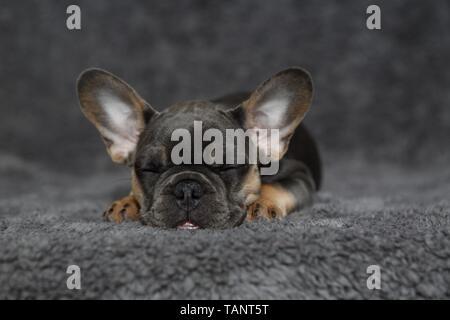 sleeping French Bulldog - Stock Photo