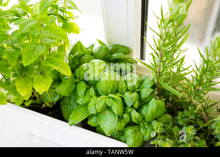 Mixed fresh aromatic herbs growing in pot, urban balcony garden with houseplants closeup - Stock Photo