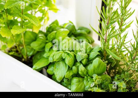 Mixed fresh aromatic herbs growing in pot, urban balcony garden with houseplants closeup - Stock Photo