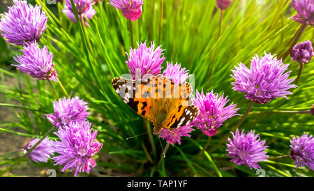 Wild Chives and Painted lady orange butterfly.  Vanessa cardui, Nymphalidae or Painted lady close up on Chives. Painted lady orange butterfly on wild  - Stock Photo