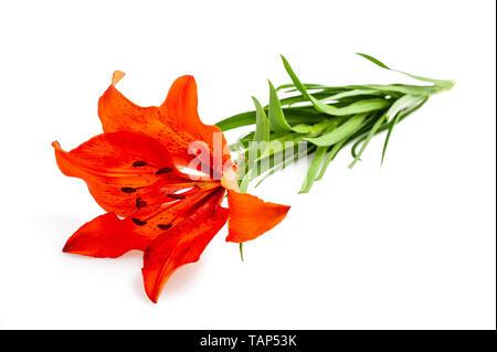 Orange  lily flower isolated on white backgrouind - Stock Photo