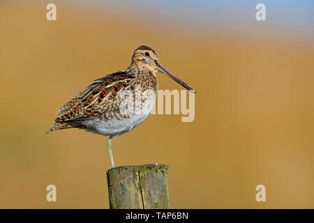 Adult male Common Snipe (Gallinago gallinago) singing on a post in County Durham, England, in spring - Stock Photo
