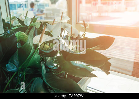 Close-up of Calla flowers against green leaves in the hall of the room. Design the room with the help of beautiful plants. - Stock Photo