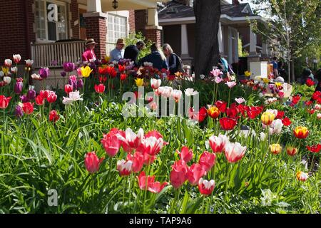 Tulips in a garden & people browsing stalls at the Great Glebe Garage Sale, Ottawa, Ontario, Canada, 2019. - Stock Photo