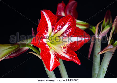 Red Amarilys, HIPPEASTRUM - Stock Photo