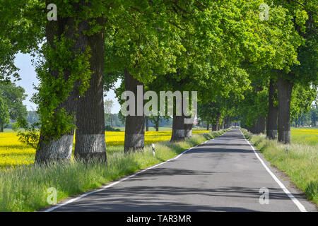 Letschin, Germany. 24th May, 2019. Mighty old oaks form an avenue in the Oderbruch. Credit: Patrick Pleul/dpa-Zentralbild/ZB/dpa/Alamy Live News - Stock Photo