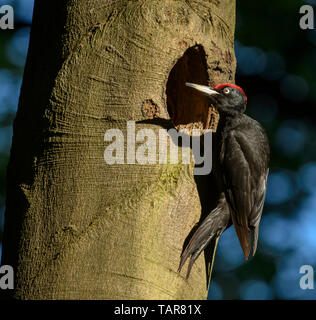 Black woodpecker on a tree trunk at a nest hole - Stock Photo