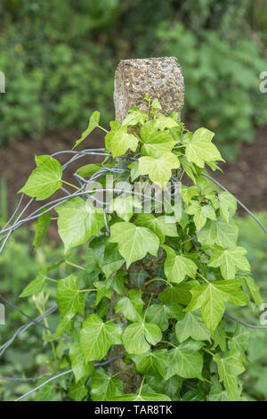 Climbing ivy / Common Ivy - Hedera helix - growing up around a concrete fence pole. Concept overgrown by ivy, creeping ivy. - Stock Photo