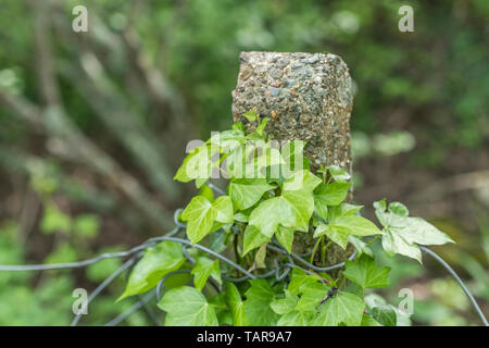 Climbing ivy / Common Ivy - Hedera helix - growing up around a concrete fence pole. Concept overgrown by ivy. - Stock Photo